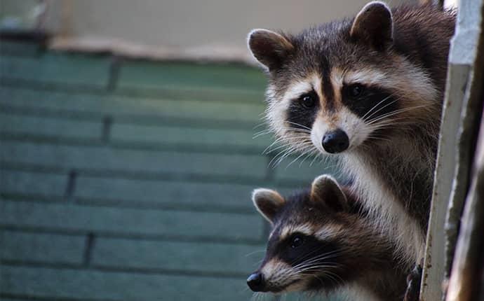 raccoons near north carolina home