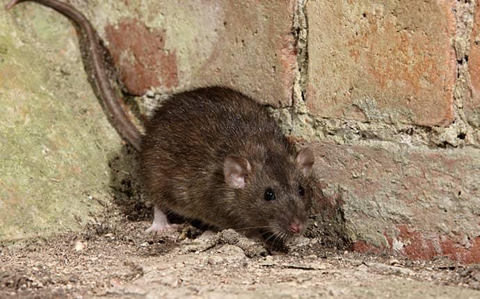 rat in north carolina home