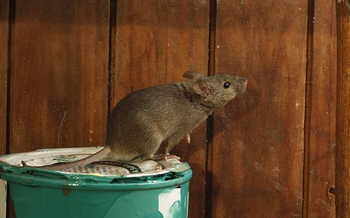 rodent on a barrel