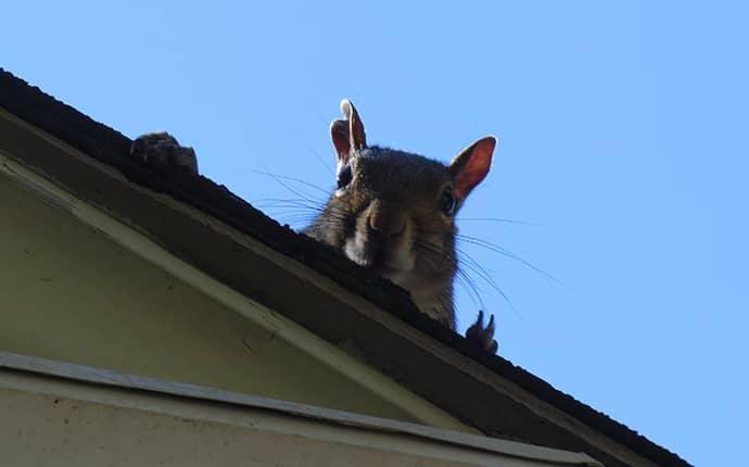 squirrel looking to get into north carolina home
