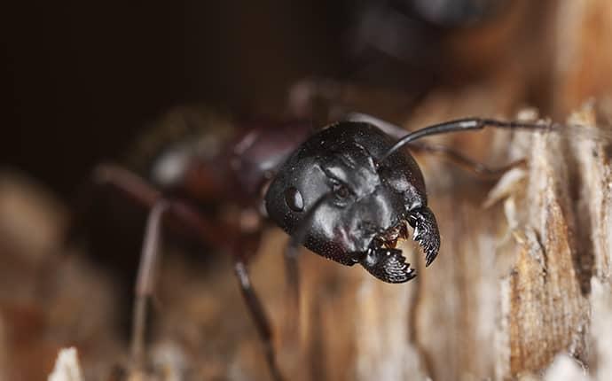 carpenter ant in north carolina home