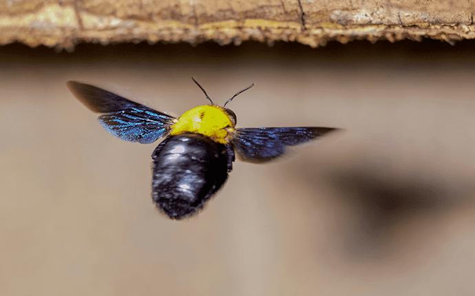 carpenter bee flying towards wood pallet