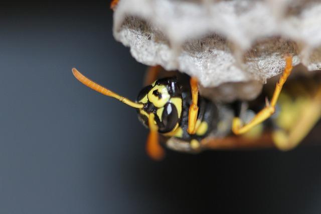 Wasp climbing its nest