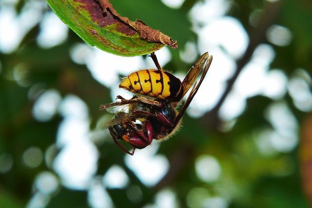 European Hornet hanging from leaf