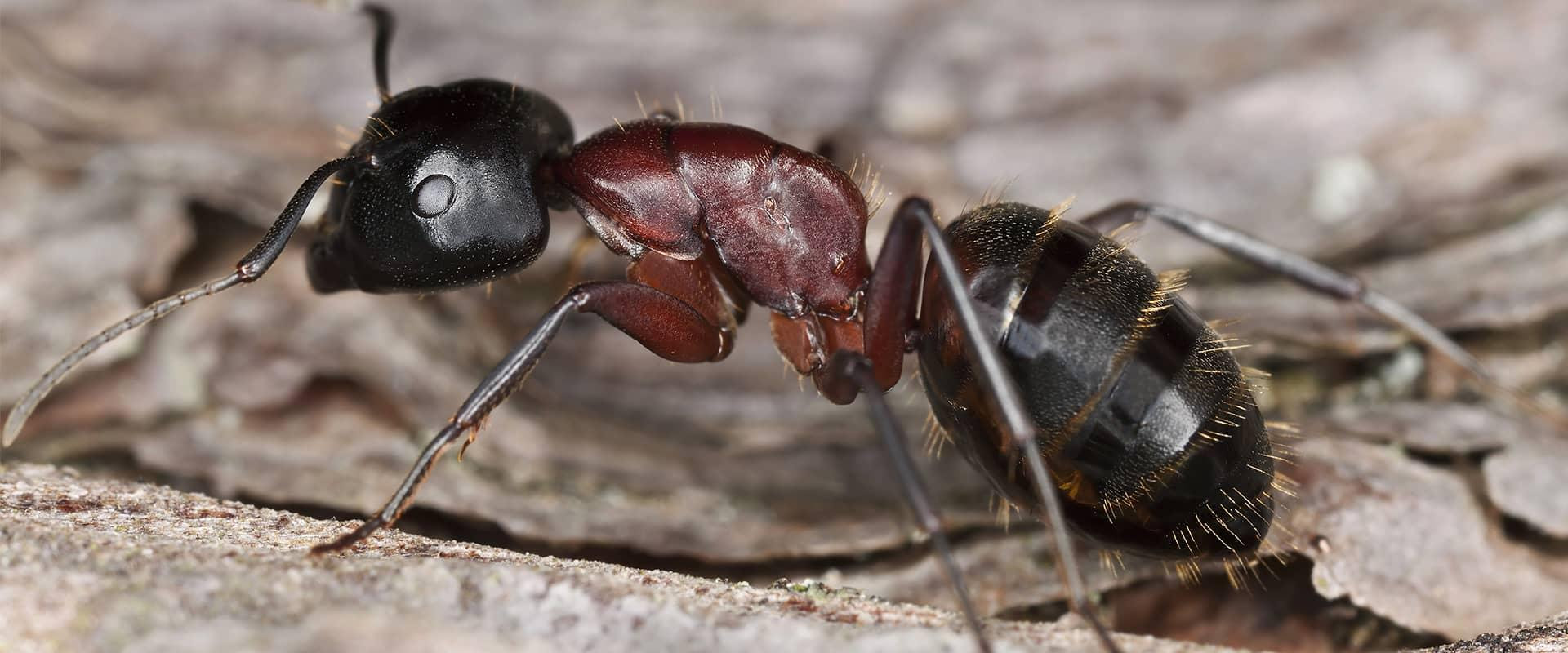 argentine ants up close