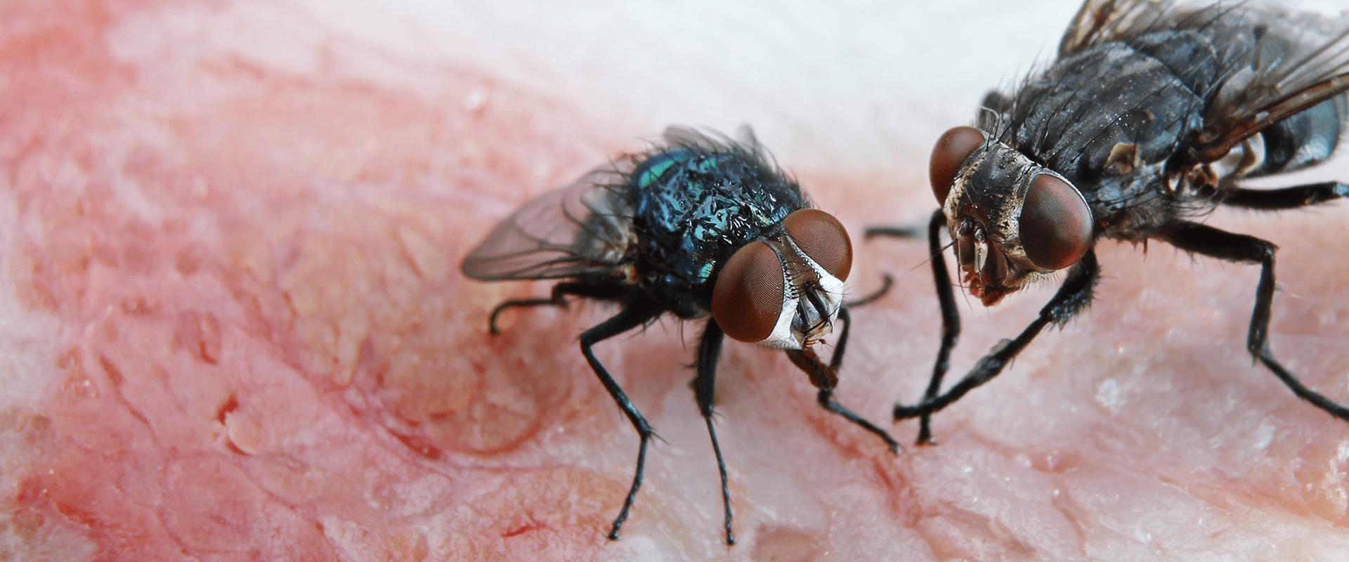 flies on a fruit in lenoir kitchen
