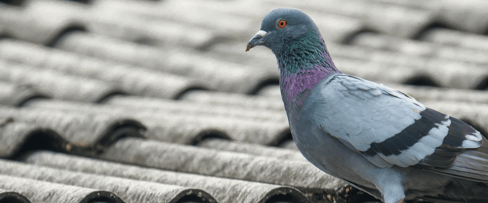pigeon on a north carolina businesses roof