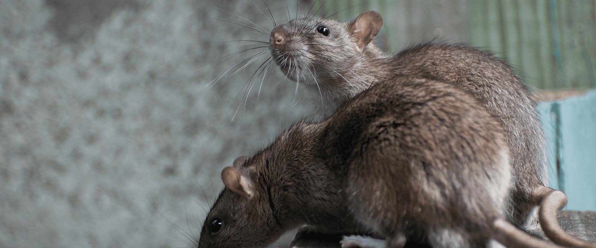 rats outside nc home