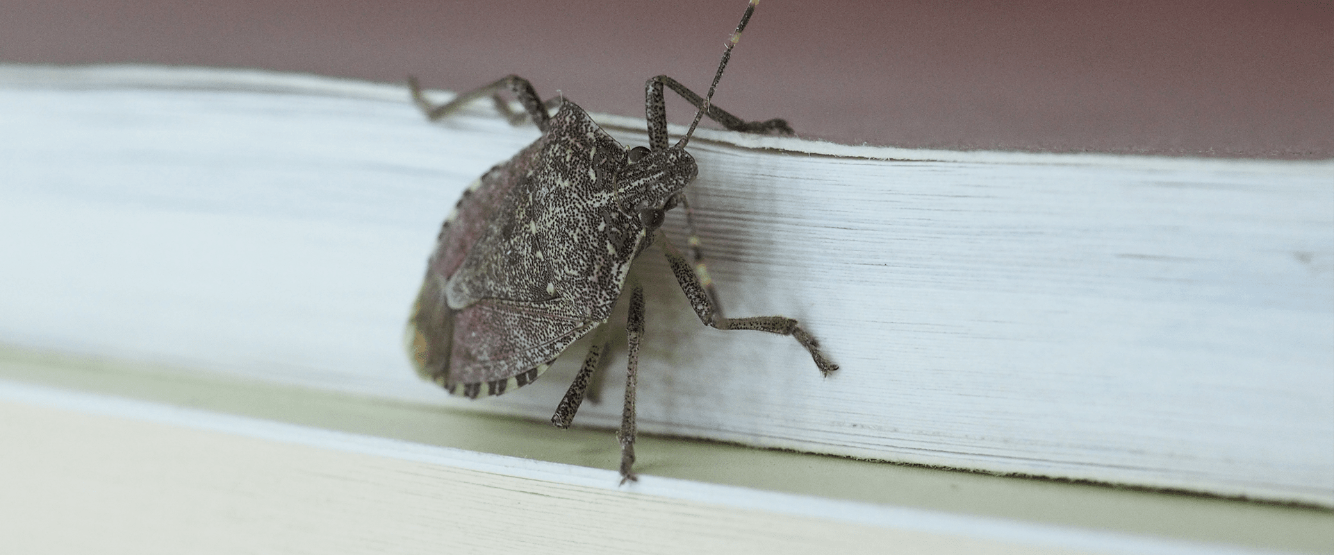 stink bug in nc home