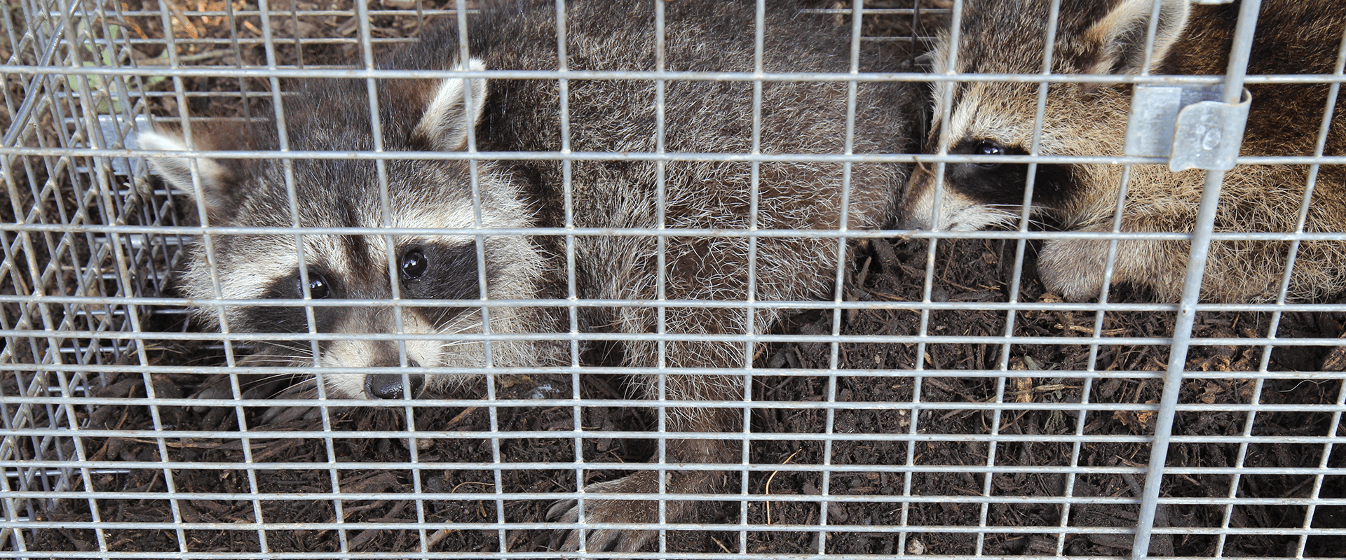 two raccoons in a wire cage