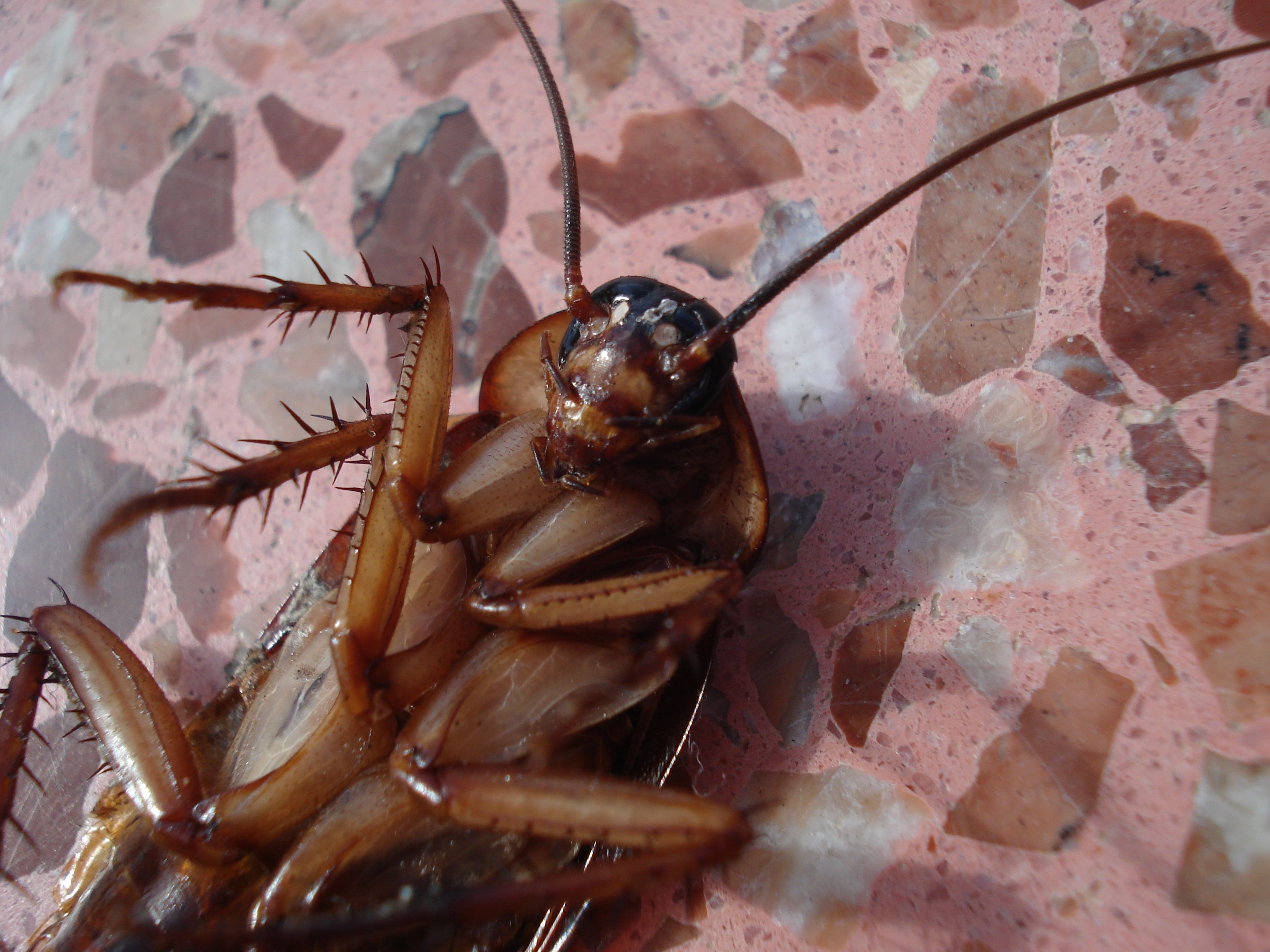 Cockroach flipped on its back