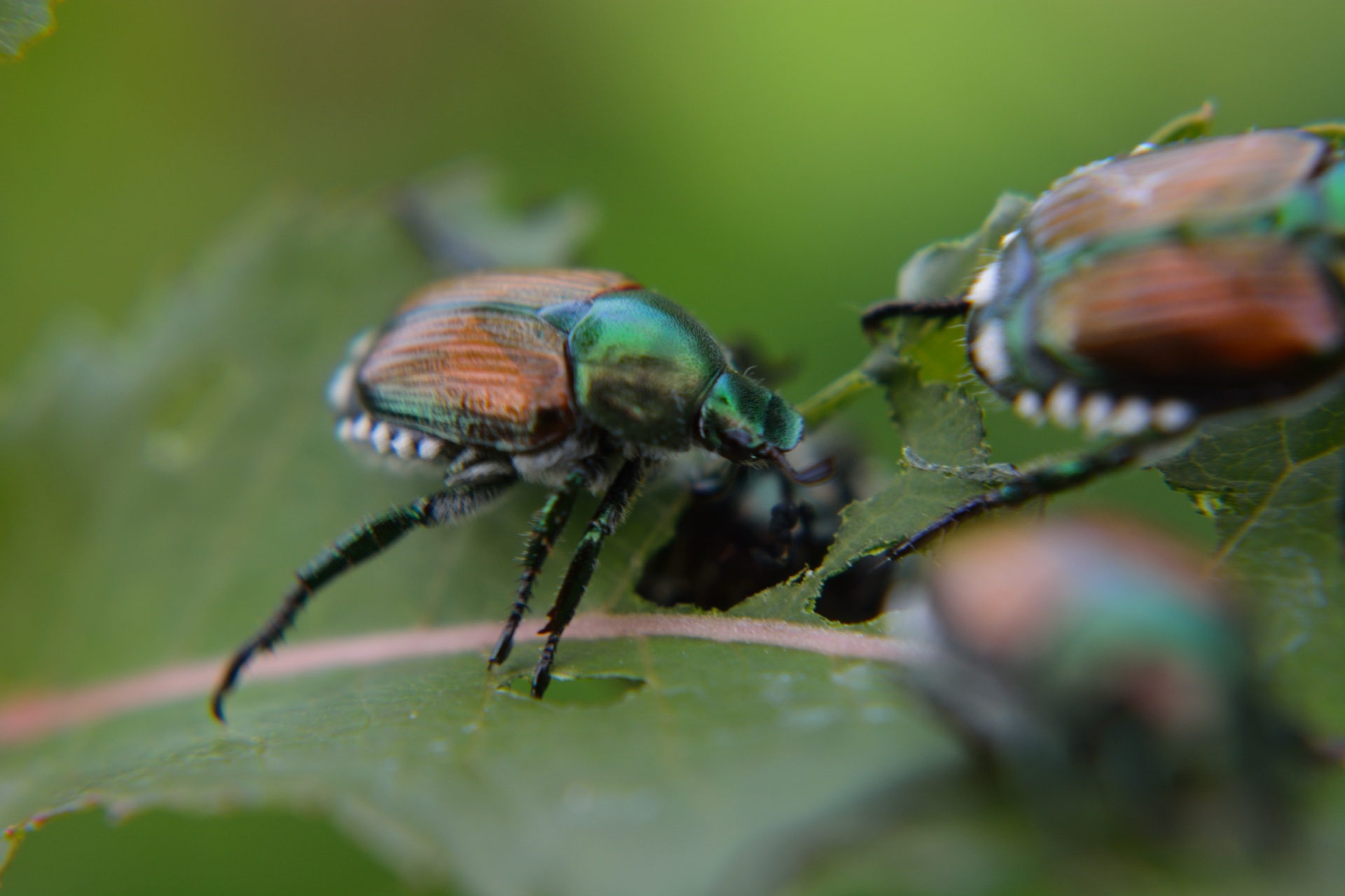 3 Japanese beetles on a leaf