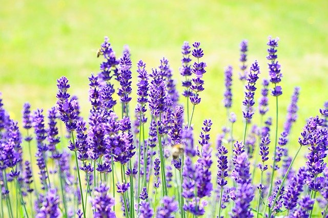 Collection of lavender plants