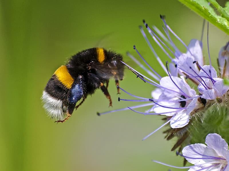 Carpenter bee feeding on nectar from flower
