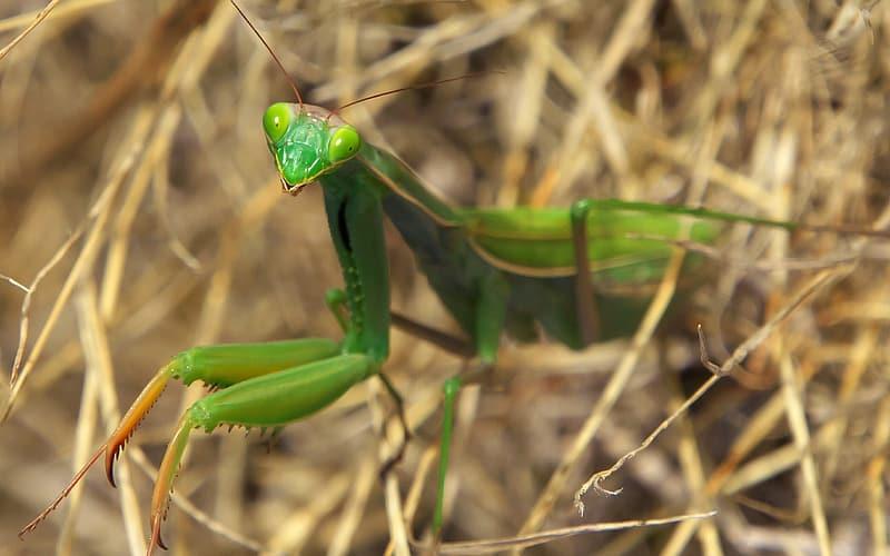 Praying Mantis lurking in weeds