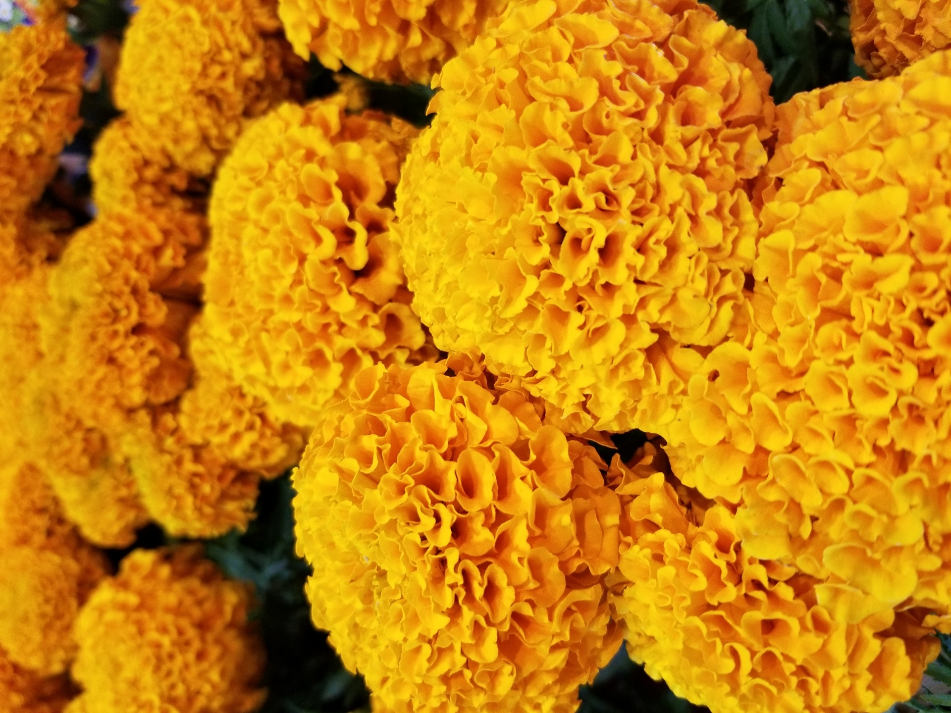 A cluster of marigolds