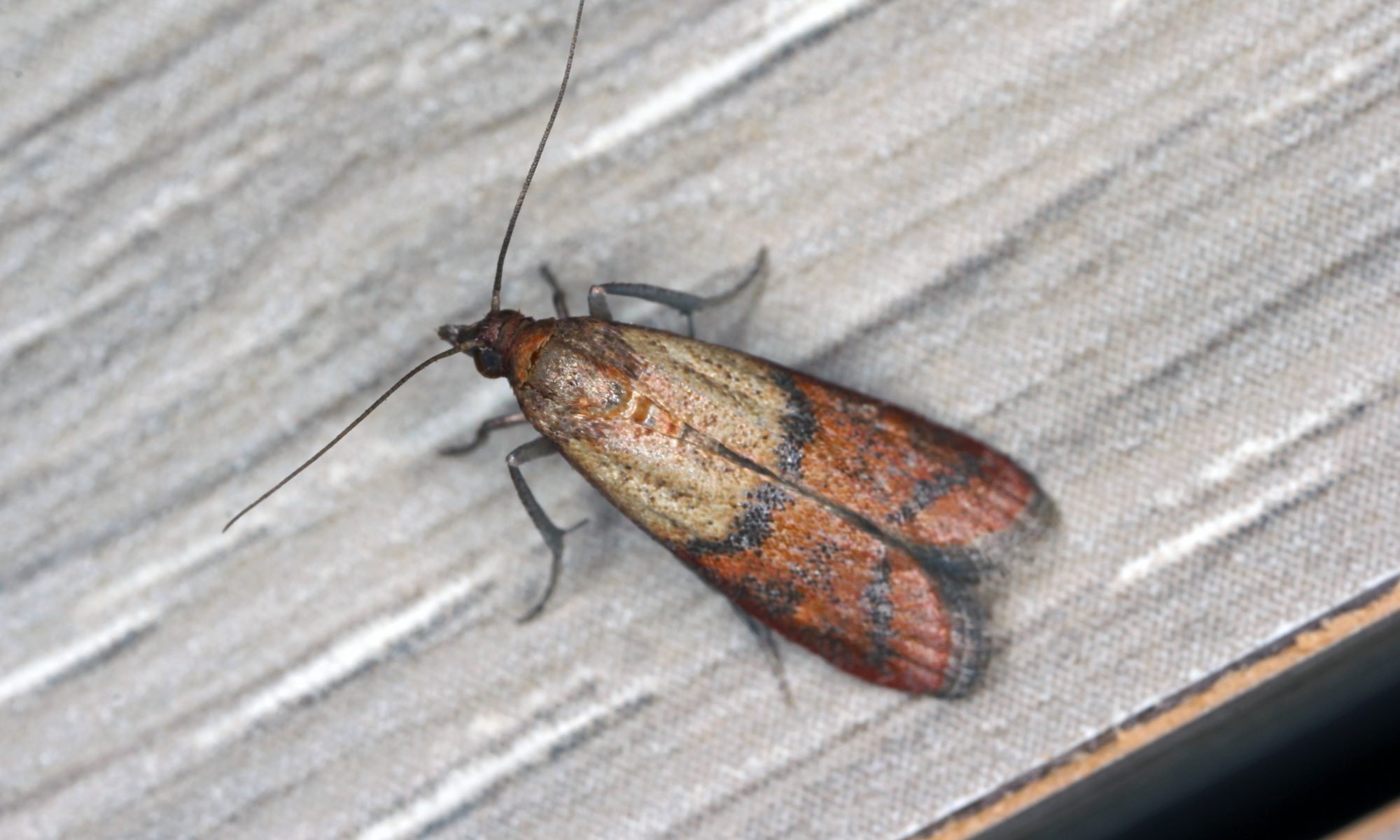 Indian Meal Moth - a common pantry pest