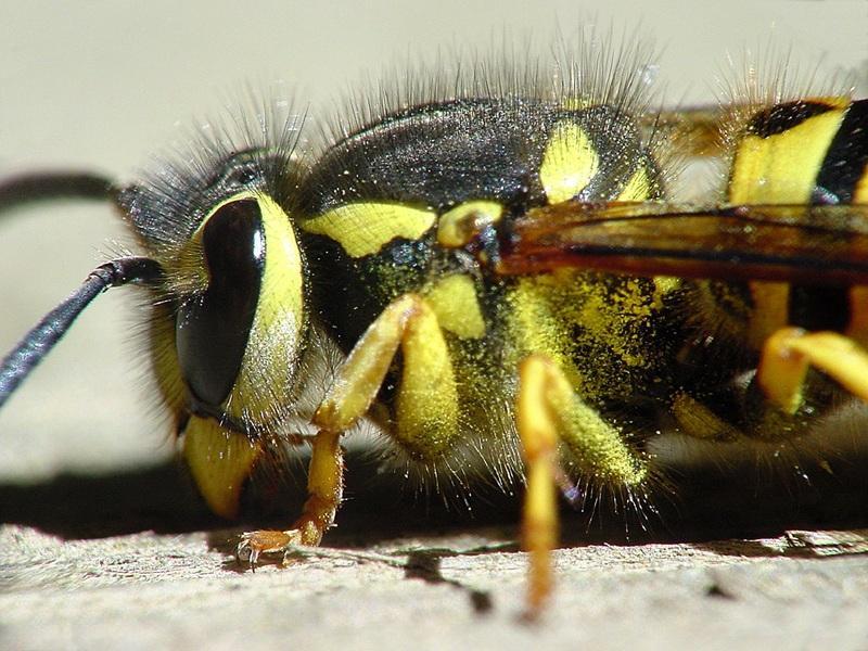 Close-up of yellow jacket