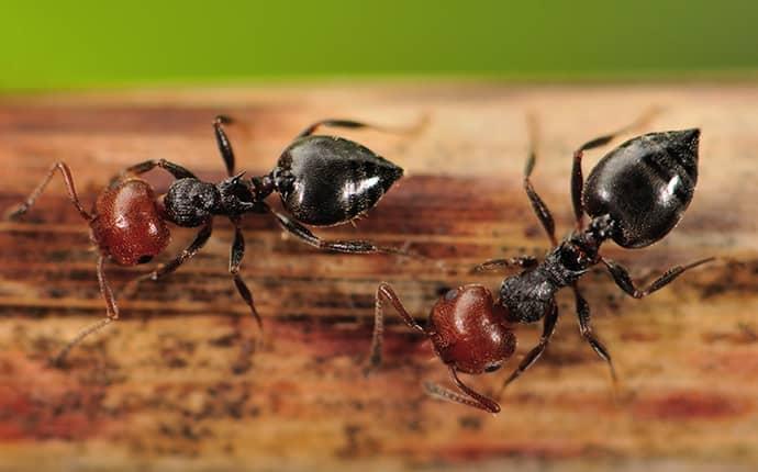 acrobat ants up close