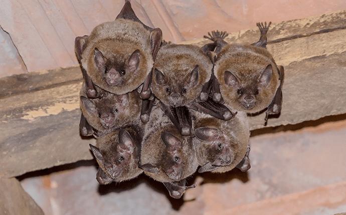 little brown bats hanging from a lenoir home attic