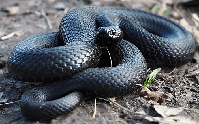 black snake inside lenoir home
