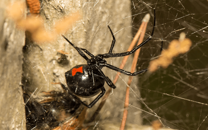 black widow spider on it's web outside lenoir home
