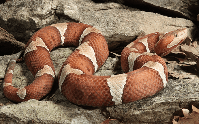 copperhead snake outside lenoir home