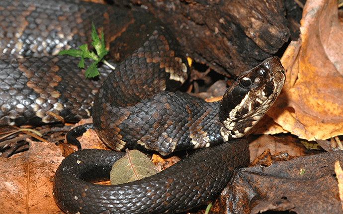 cotton mouth snake in a pile of leaves