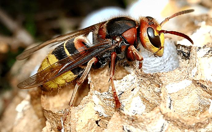 eurpoean hornet outside lenoir home