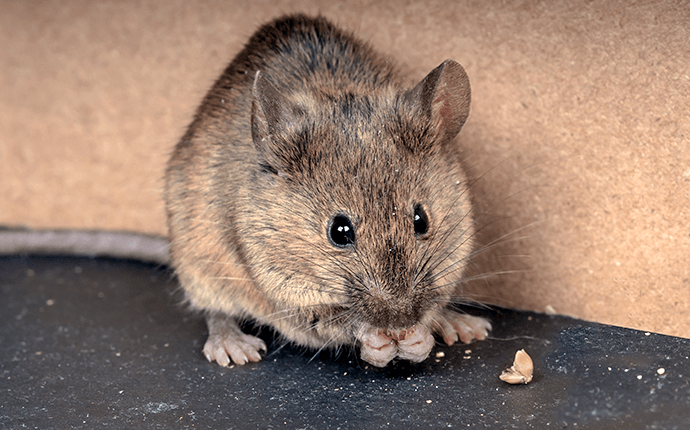 house mouse in a corner of lenoir home
