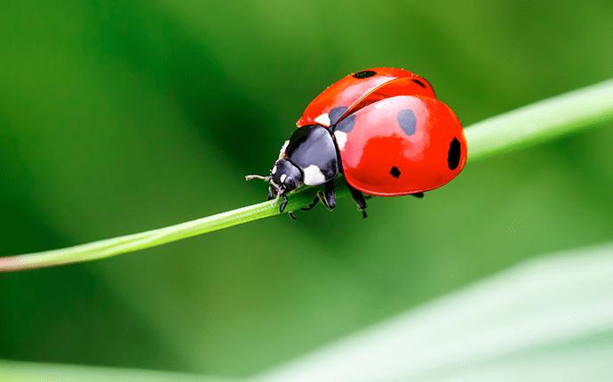 ladybug up close
