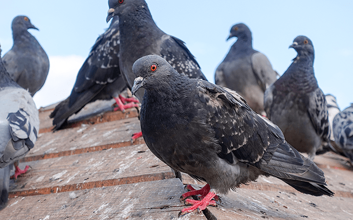pigeons on a roof in north carolina
