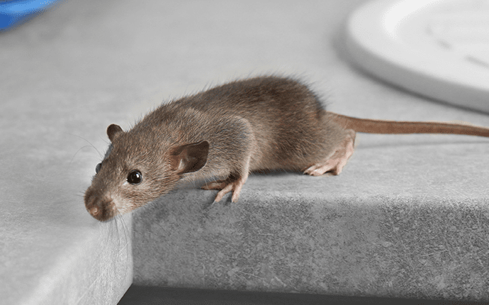 rat on a kitchen counter in lenoir