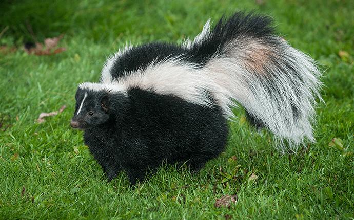 skunk on a lenoir lawn