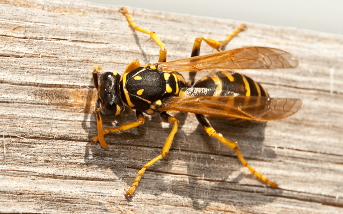 yellow jacket on a deck in north carolina