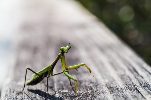 Praying mantis on its hind legs