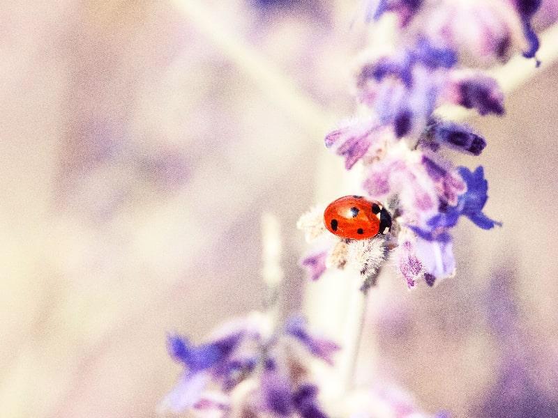 Japanese lady bug