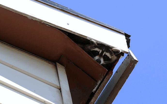 raccoon in roof