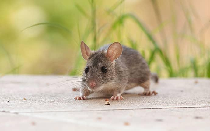 mouse looking for shelter in huntsville nc