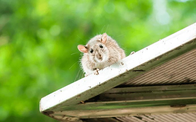 roof rat on lenoir home roof