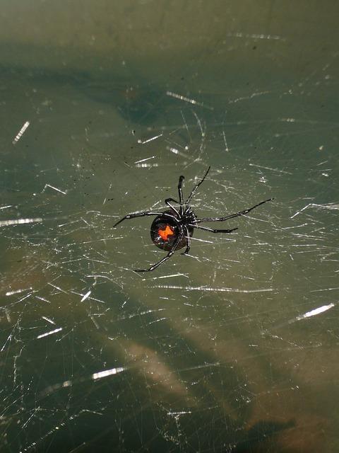 Black widow spider in its web