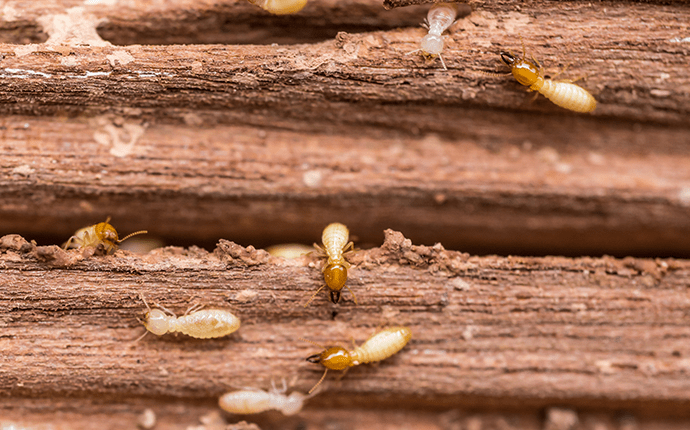 termites crawling over wood