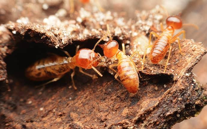 termites near a sherrils ford home