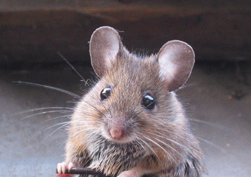 Mouse sitting upright. These creatures are know terrorizes of pantries