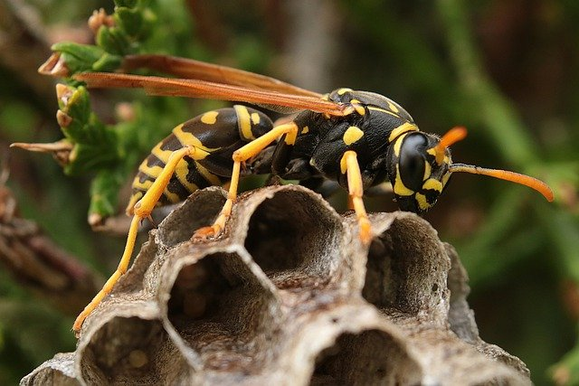 Wasp resting on its wasps nest