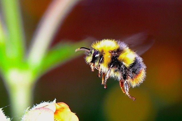Bumble bee flying toward flower