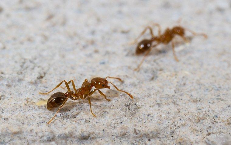 two ants crawling on the floor of a house