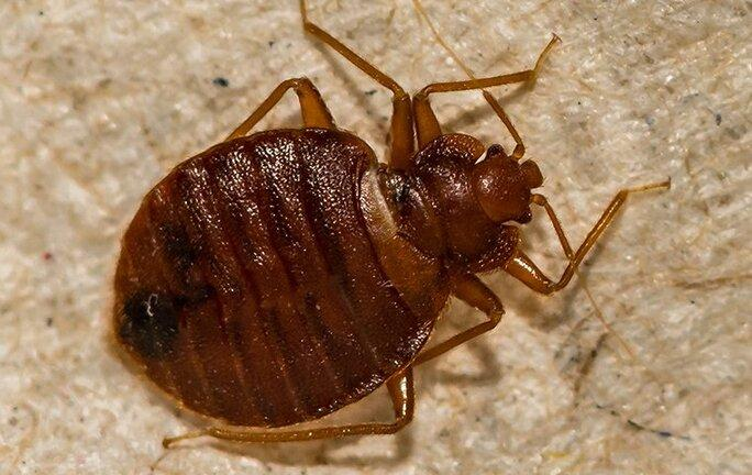 a bed bug crawling on bedroom furniture