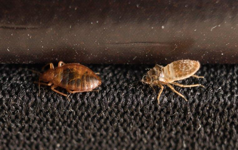 bed bugs crawling on fabric of luggage