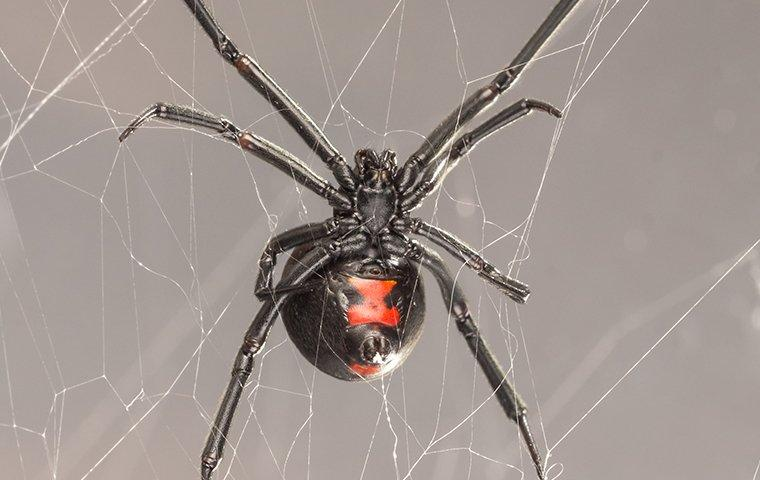 a black widow spider crawling in her web in a home